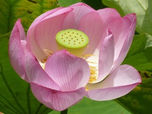 Sacred Lotus.  Image courtesy Flickr user WEAZ 73.