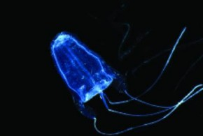 Long-term study links box jellyfish abundance, environmental variability