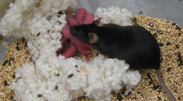 Two Y genes can replace the entire Y chromosome for assisted reproduction in mice