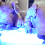 Piglets glow green, thanks to UHM scientists' reproductive technique