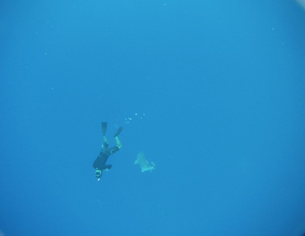 Diver and Bluntnose Sixgill Shark