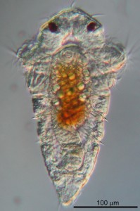 Larva of the marine tubeworm Hydroides elegans