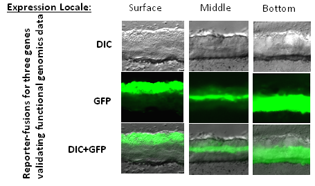 Virulence expression within organized biofilm structure