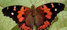 The Kamehameha butterfly is declining and needs the public's help