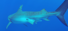 More tiger sharks tagged to track online