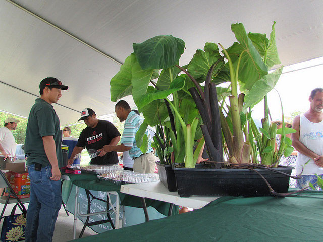 Taro at Waimanalo Research Station Open House