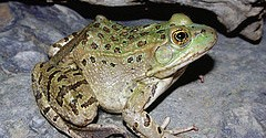 Chiricahua leopard frog, courtesy US Fish and Wildlife Service (credit: Jim Rorabaugh)