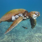 Green turtle with tumors