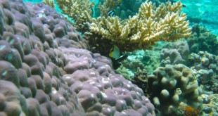 Coral assemblage in Ofu Lagoon, American Samoa. Photo courtesy of Ruth Gates.