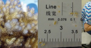 Adult coral (Pocillopora_damicornis) and larvae (~1 millimeter). (credit: Hollie Putnam and Beth Lenz)