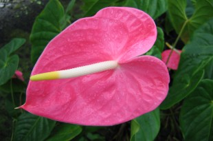 """Marian Seefurth"" is a staple variety of the modern anthurium industry. Credit: Joanne Lichty, CTAHR."