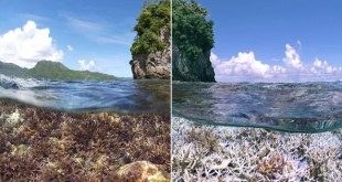 The current coral bleaching event began last year in the Pacific Ocean. This reef in American Samoa was healthy in December 2014 (left) but had lost its characteristic colour in February 2015 (right). Image courtesy of XL Catlin Seaview Survey.