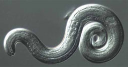Researchers Offer Advice to Curb Rat Lungworm Diseases ...